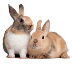 Bring some joy by giving food and shelter to two abandoned pet rabbits. Vancouver Rabbit Rescue & Advocacy shelters abandoned or unwanted pet rabbits and finds them loving new homes.